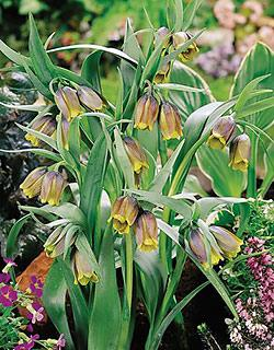 SOLD OUT Uva vulpis Fritillaria - 5 bulbs