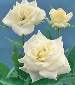 John F. Kennedy Hybrid Tea Rose - 1 bare root plant