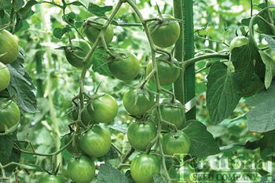 Sungreen Garden Tomato
