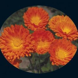 Ball's Improved Orange - Calendula