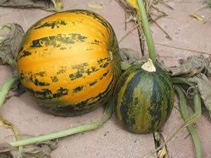 Pumpkin, Kakai
