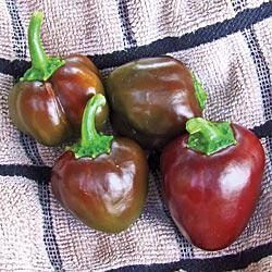 Chocobelle Hybrid Sweet Pepper