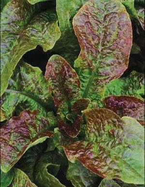 Lettuce,Cracoviensis, Stem Lettuce, Organic