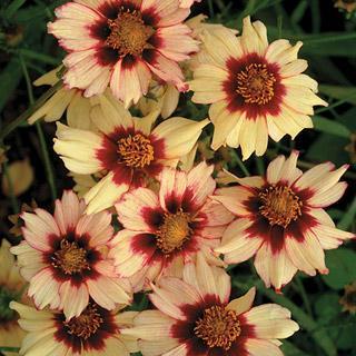 Coreopsis Autumn Blush