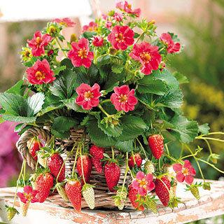 Strawberry Tarpan Hybrid