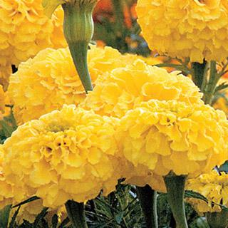 Marigold Park's Whopper Yellow
