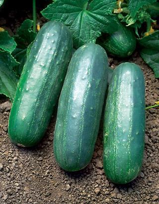 Cucumber Eureka Hybrid