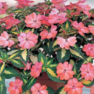 Impatiens Variegated Spreading Salmon SunPatiens® Annual Plant