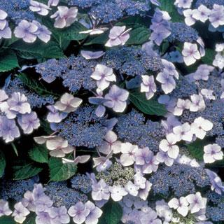 Blue Billow Hydrangea serrata Shrub