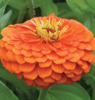 Benary's Giant Orange