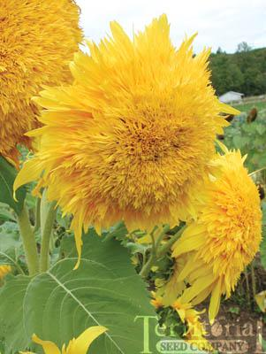 Sunflower-Golden Cheer