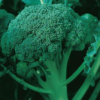 Broccoli Coronado Crown Hybrid