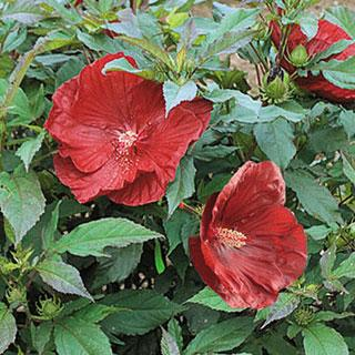 Cranberry Crush Hibiscus Rose Mallow Plant