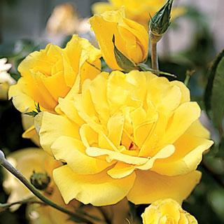 Golden Showers Yellow Rose