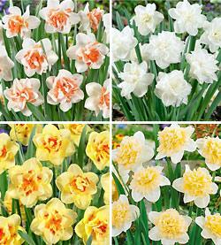 SOLD OUT Double Daffodils Collection - 40 bulbs