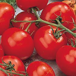 Better Boy (VFN) Hybrid Tomato