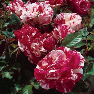 Scentimental 24-inch Patio Tree Rose