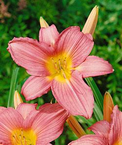 Hall's Pink Daylily - 3 root divisions