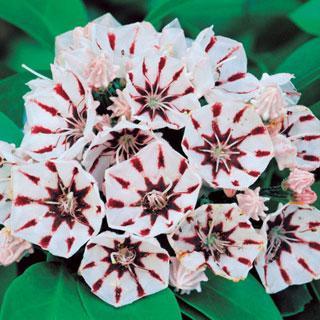 Peppermint Kalmia latifolia Mountain Laurel Shrub