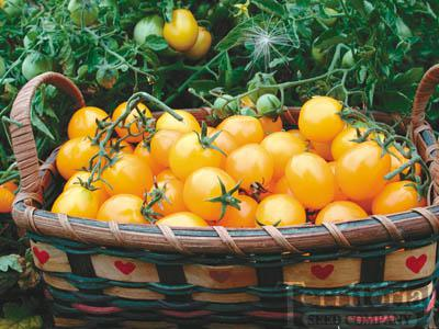 Gold Nugget Tomato Conventional & Organic