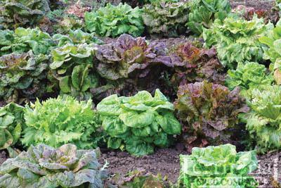 Freedom Mix Lettuce Organic
