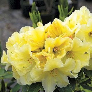 Karen Triplett Rhododendron Shrub