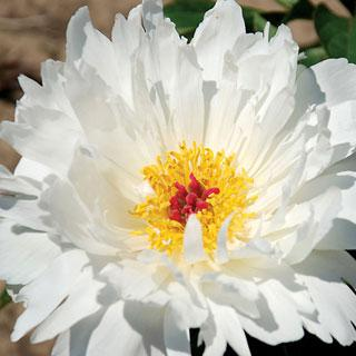 Lois Kelsey Paeonia Peony Plant