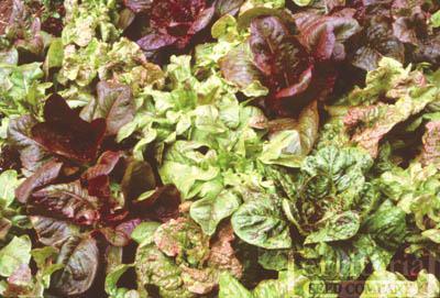 Wild Garden Lettuce Mix Organic