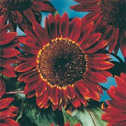 Sunflower a. 'Prado Red'