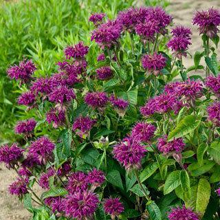 Purple Rooster Monarda didyma Bee Balm Plant