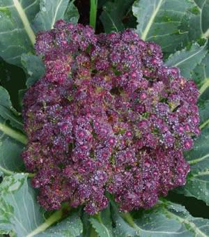 Cauliflower, Violet Purple, Cool weather