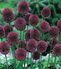 SOLD OUT Drumstick Allium - 20 bulbs