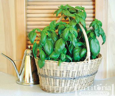 Basil-Sweet Conventional & Organic