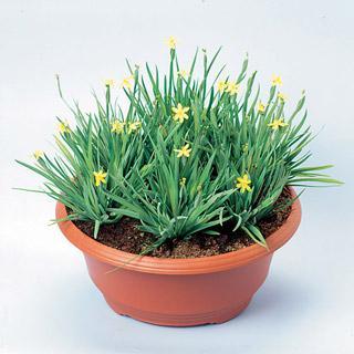 Yellow-Eyed Grass Yellow Stone