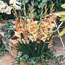 Zoë Glamini® Dwarf Gladiolus