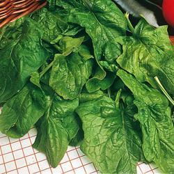 Organic Spinach Palco F1 Hybrid