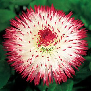 English Daisy Habanera® Red Tips