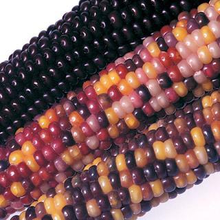 Corn Fiesta Hybrid