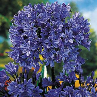 Storm Cloud Agapanthus Hybrid Lily of the Nile Plant