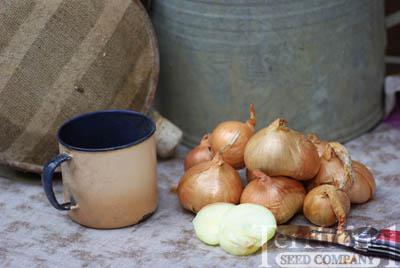 Yellow Multiplier Onion