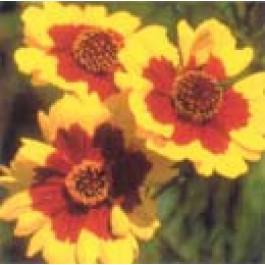 Plains Coreopsis  - Wildflower