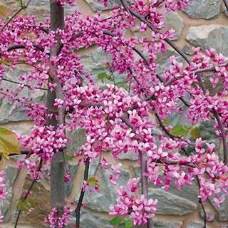 Pink Heartbreaker Cercis canadensis Redbud Tree