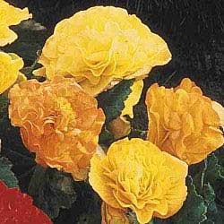 Yellow Everblooming Begonias