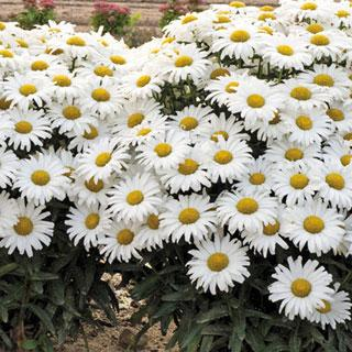 Daisy May™ Leucanthemum superburn Shasta Daisy Plant