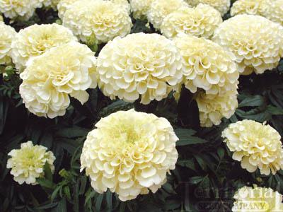 Marigold-Vanilla