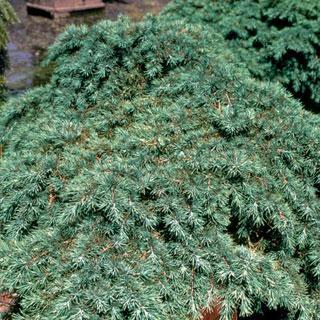 Prostrate Beauty Cedrus deodora Deodar Cedar Tree