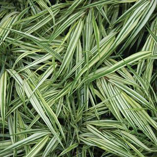 Fubuki™ Hakenochloa Japanese Forest Grass Plant