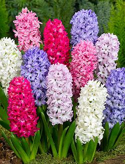 SOLD OUT Mixed Hyacinth - 10 bulbs