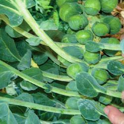 Brussels Sprout Bright F1 Hybrid