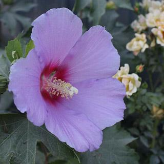 Full Blast™ Hibiscus Rose of Sharon Shrub